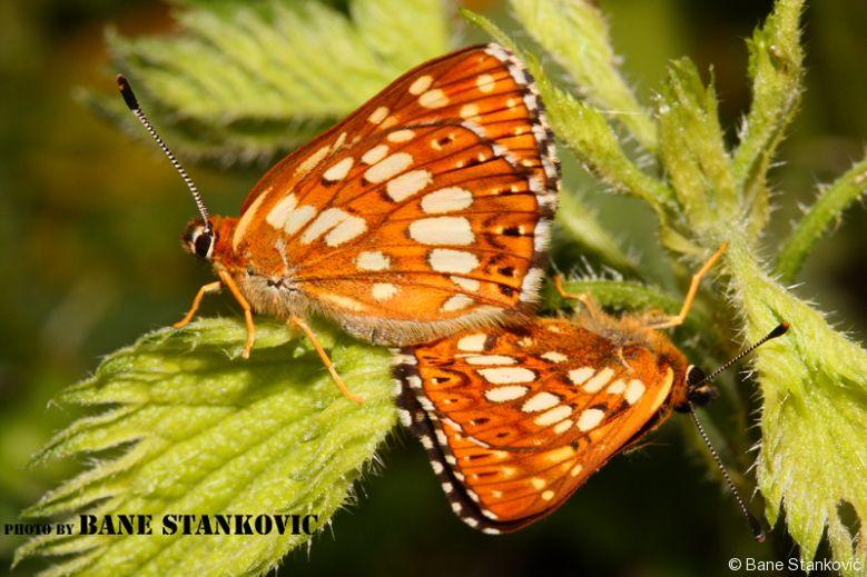 sijamski-leptiri-1-ee.jpg